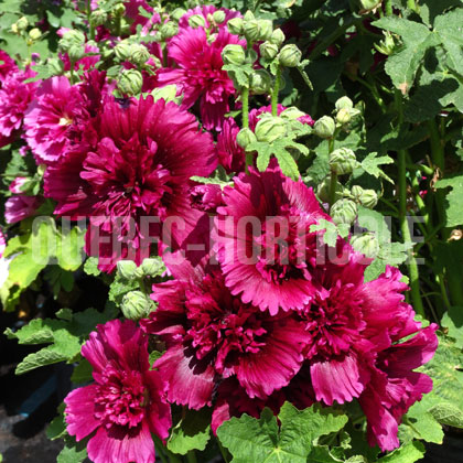 image de Alcea rosea Queeny Purple