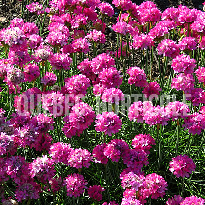 image de Armeria maritima Morning Star Deep Rose