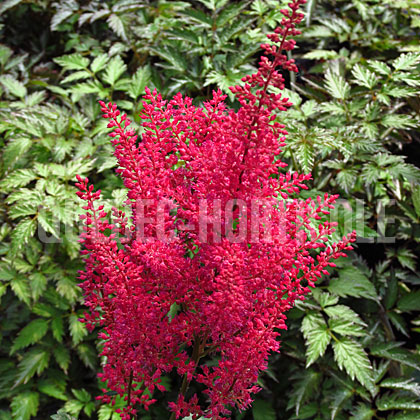 image de Astilbe japonica Montgomery