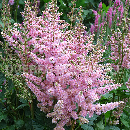image de Astilbe New Wave