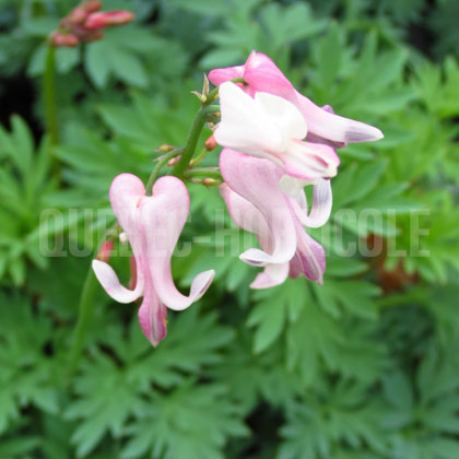 image de Dicentra Amore Pink