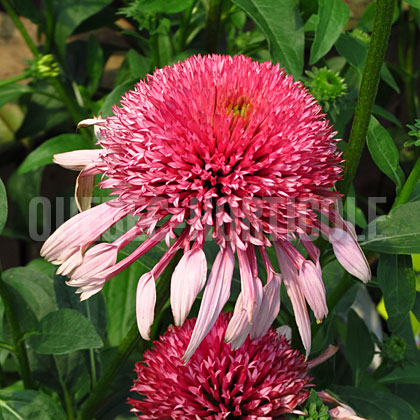 image de Echinacea Double Scoop Bubble Gum