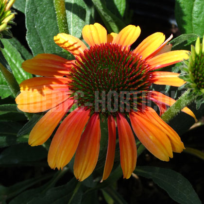 image de Echinacea Butterfly™ Rainbow Marcella