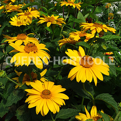 image de Heliopsis helianthoides Tuscan Gold