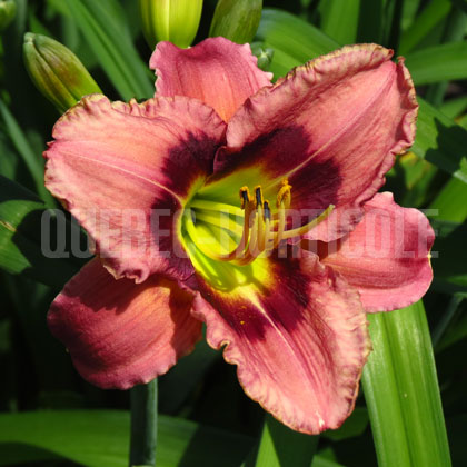 image de Hemerocallis Always Afternoon