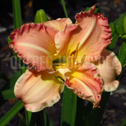 image de Hemerocallis Antique Rose