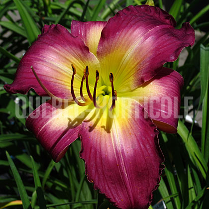 image de Hemerocallis Arbor Shadow