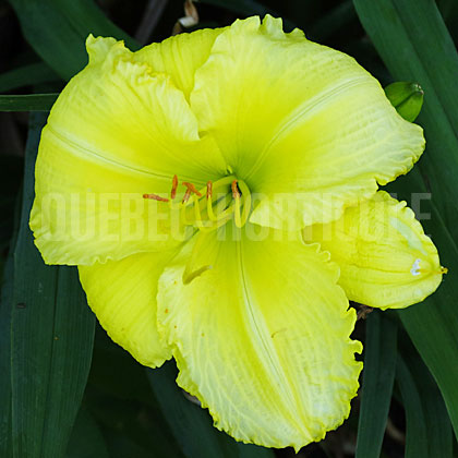 image de Hemerocallis Beauty to Behold