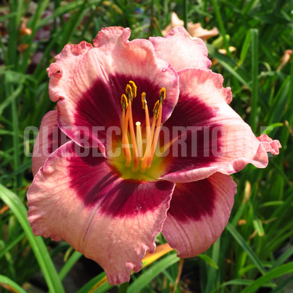 image de Hemerocallis Big City Eye