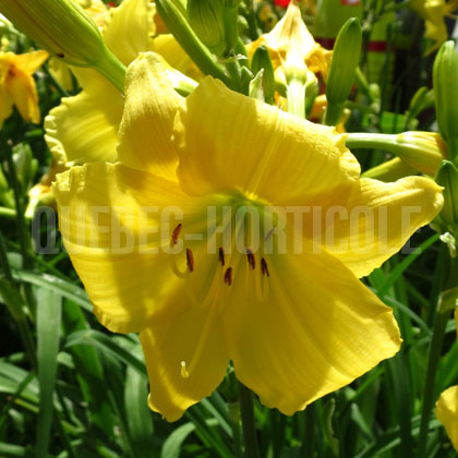 image de Hemerocallis Big Time Happy