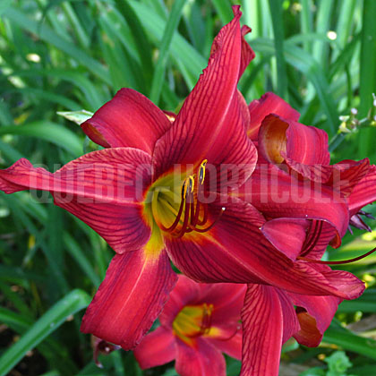 image de Hemerocallis Bright Dancer