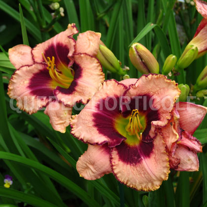 image de Hemerocallis Daring Deception
