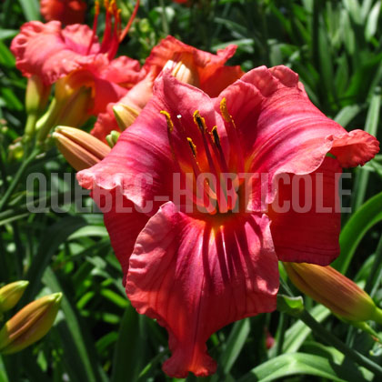 image de Hemerocallis Gordon Biggs