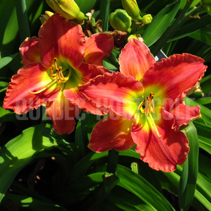 image de Hemerocallis Island Warrior