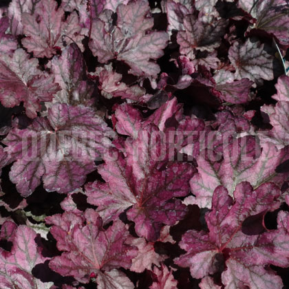 image de Heuchera Dolce® Blackberry Ice