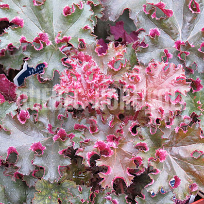 image de Heuchera x Crimson Curls