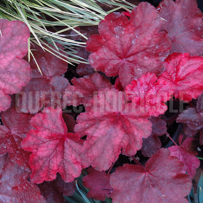 image de Heuchera Fire Chief