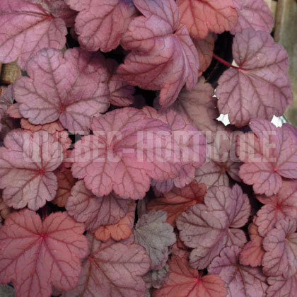 image de Heuchera x Grape Soda