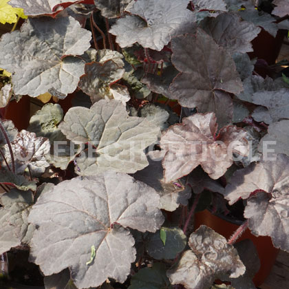 image de Heuchera villosa Palace Purple
