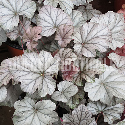 image de Heuchera x Stainless Steel