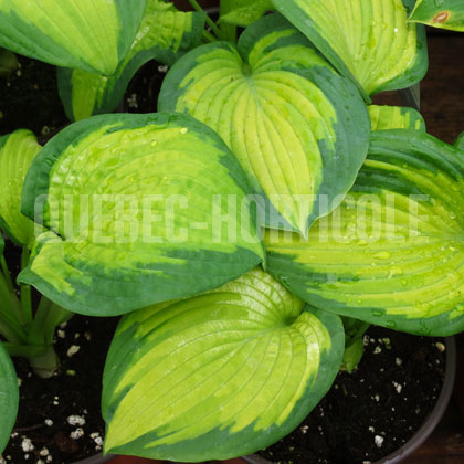 image de Hosta Brother Stefan