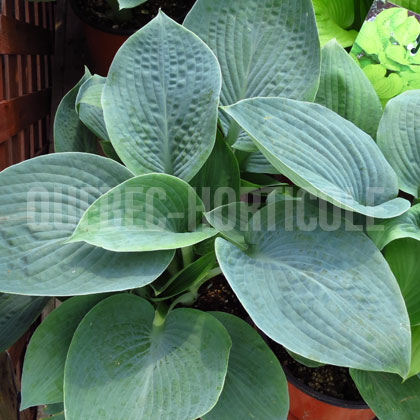 image de Hosta Wishing Well