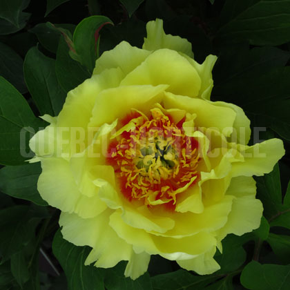 image de Paeonia Yellow Crown
