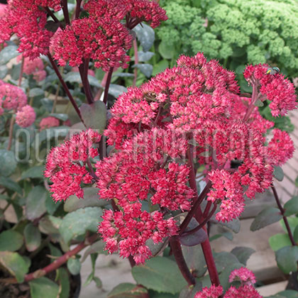 image de Sedum x Red Cauli