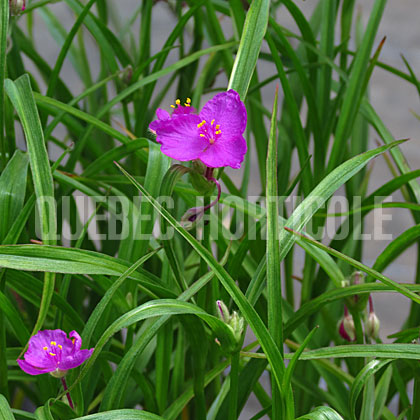 image de Tradescantia x Red Cloud