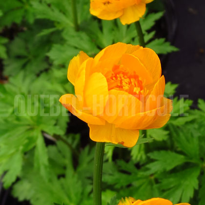 image de Trollius x cultorum Orange Crest